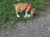 Chinchilla puppy